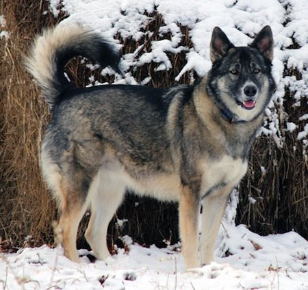 Alaskan Shepherd stood in the snow